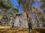 Beautiful Birch Woods
