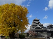 Kumamoto castle with a huge and beautiful ginkgo tree.