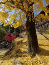 Ginkgo tree on the island Miyajima, close to Hiroshima.