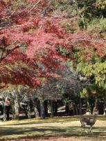 "Around the temple complex in Nara, ""wild"" deers run around free."